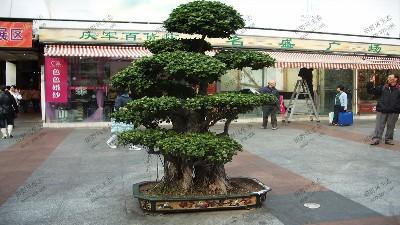 印度榕盆景