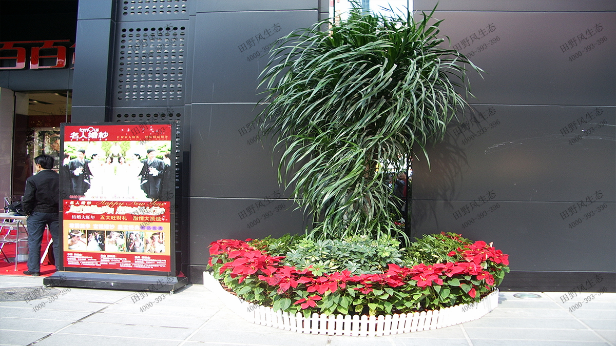 15特型龙血树