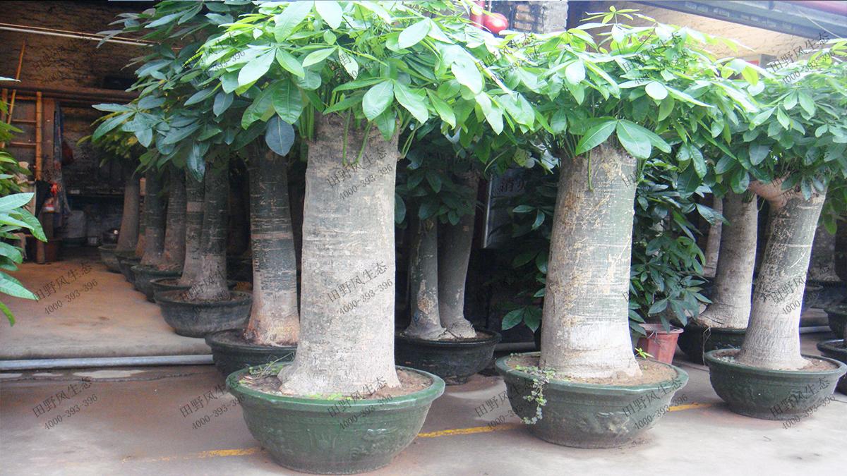 16特型单杆发财树