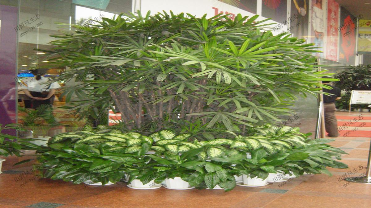 18特型大叶棕竹