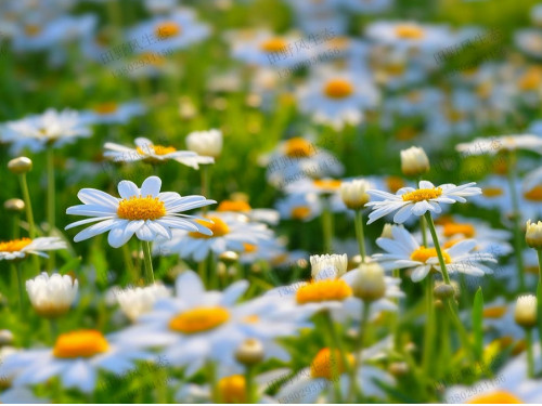 路边的小白花,雏菊花种子种植方法及养护技巧