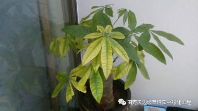 家养发财树-室内绿植