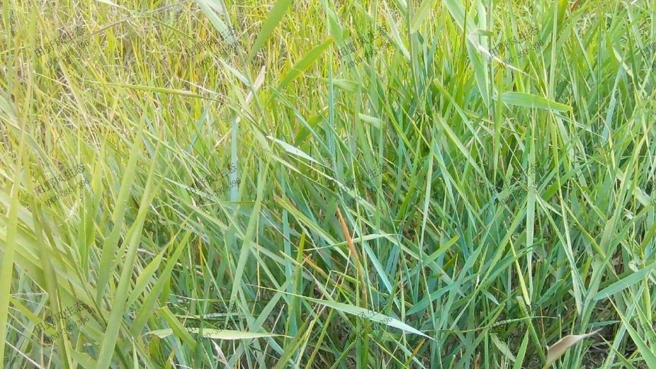 碱茅草分布范围
