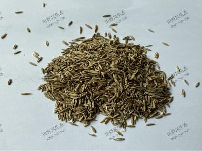 碱茅草种子