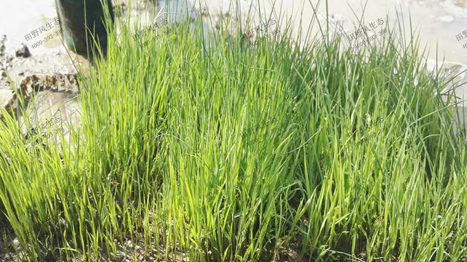 碱茅草繁殖方式