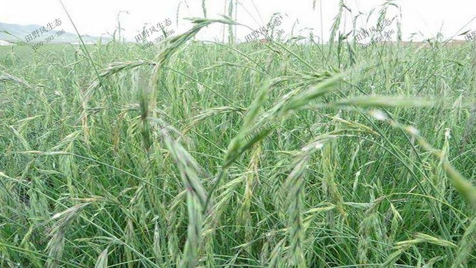 碱茅草生长环境