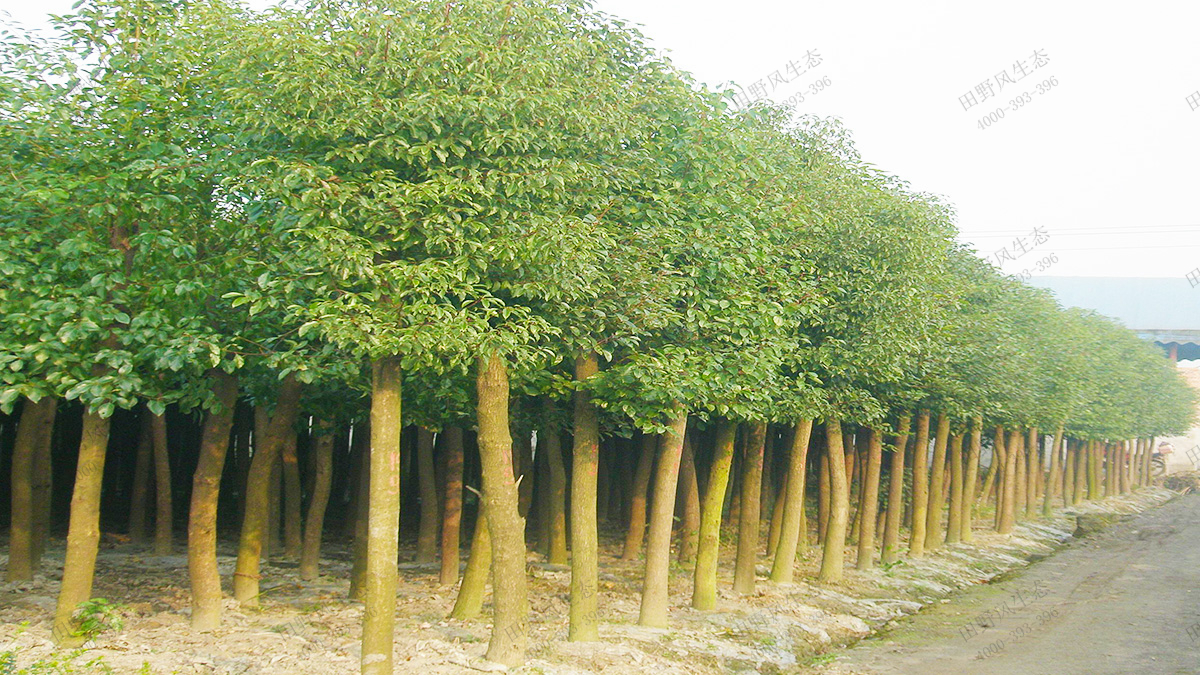 7香樟种植基地