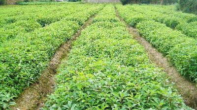 袋苗种植基地