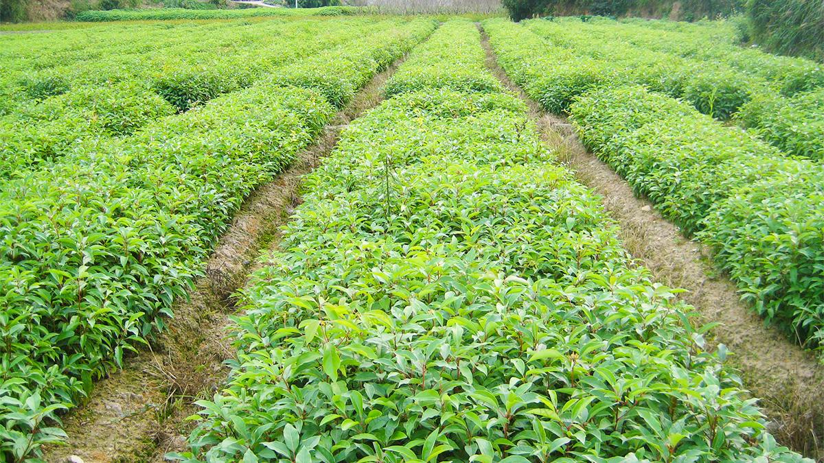 17袋苗种植基地