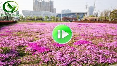 市政花卉景观花海视频