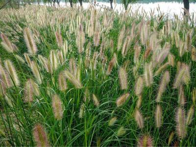 狼尾草草籽-生态复绿草种子产品介绍