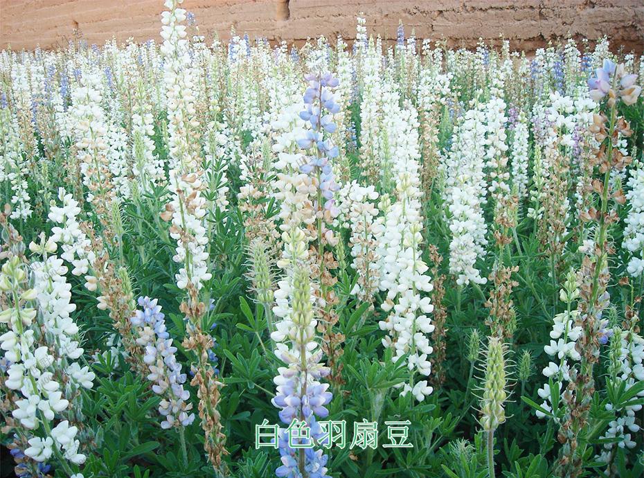 宿根花卉花种
