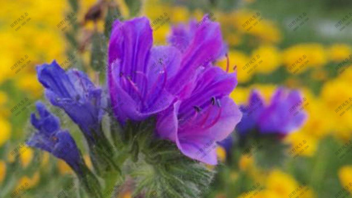 蓝蓟花籽,绿化花卉种子