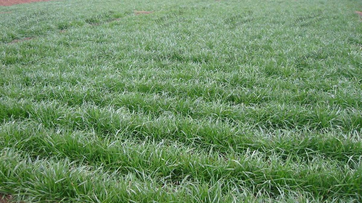 一年生黑麦草种子种植