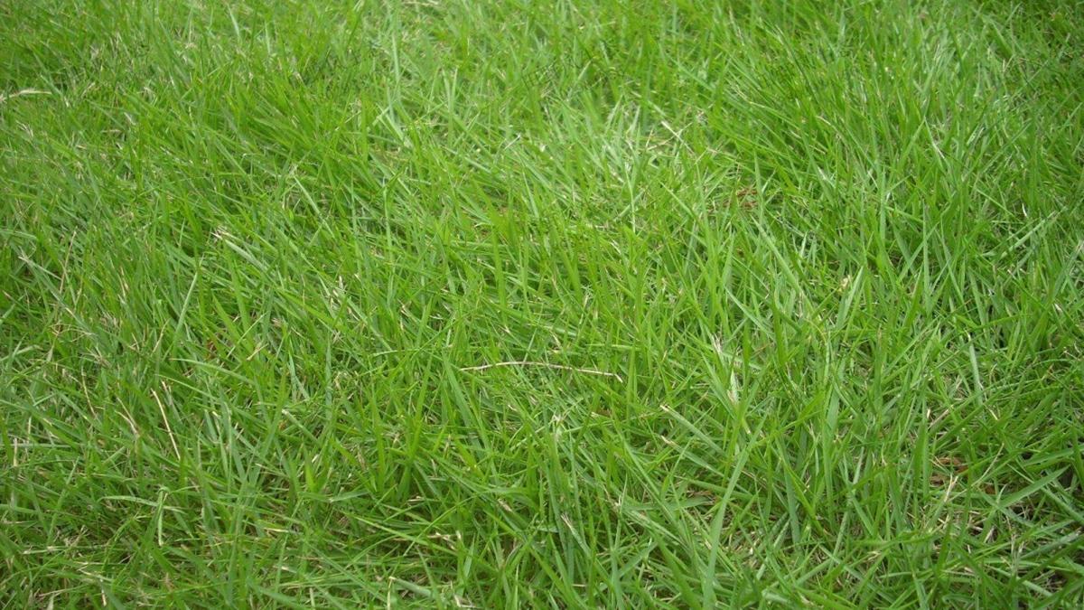 百喜草种子适合做草坪草种吗?