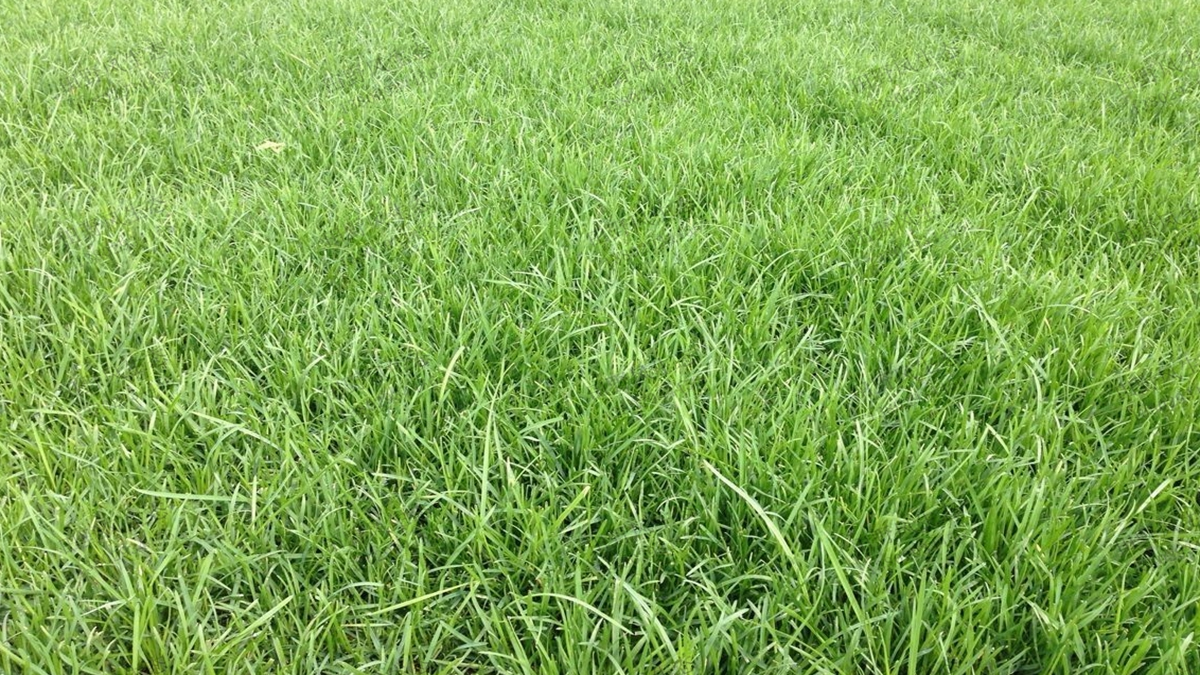 草坪草种早熟禾草种子四大种植播种方法及养护技巧