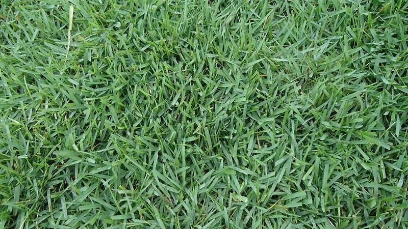 结缕草种子