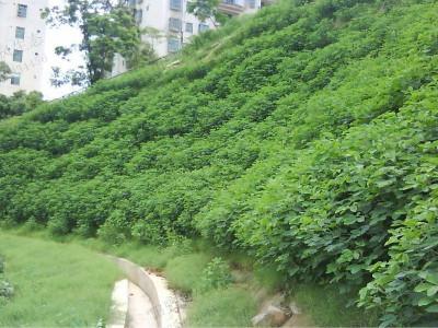 边坡绿化植草