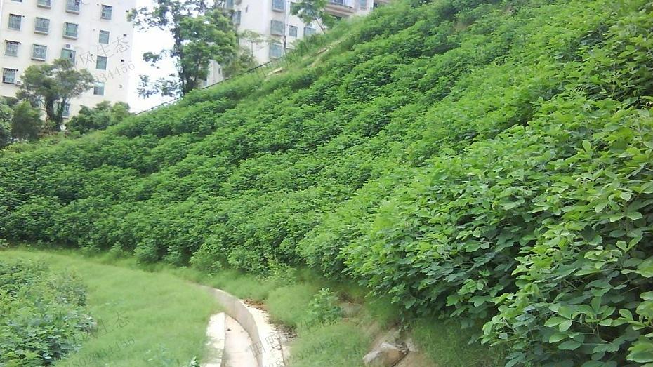 边坡绿化植草技术