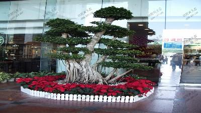 盆景印度榕