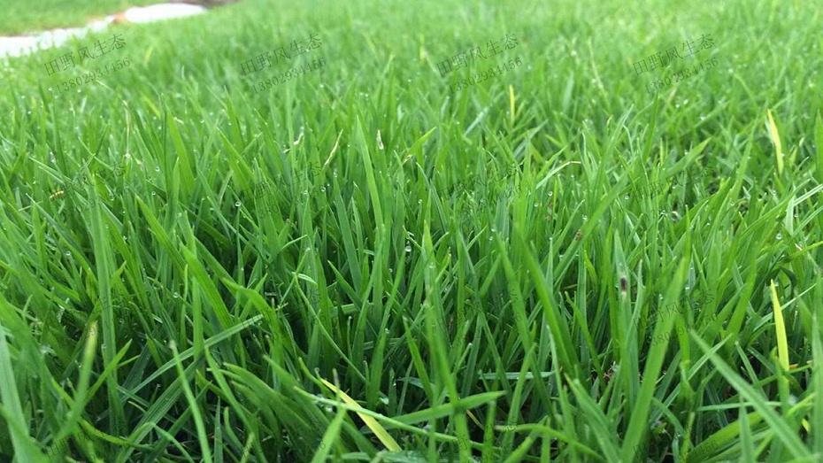 黑麦草种子种植草坪效果