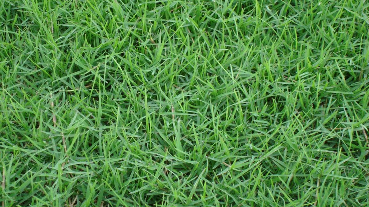 草坪草种狗牙根种植技术及养护方法