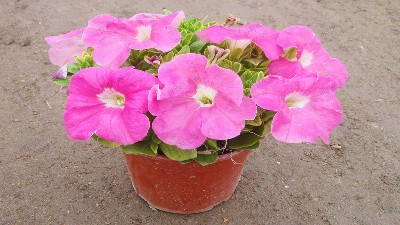 粉色矮荤牛牛,一种常用的应节盆花
