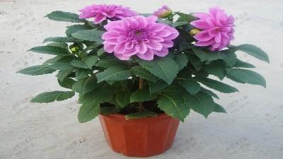 常用应节盆花,大丽花