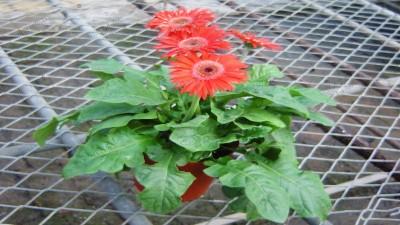 常用应节盆花-大阳花