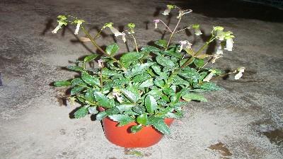 倒挂金钟,一种常用季节盆栽~