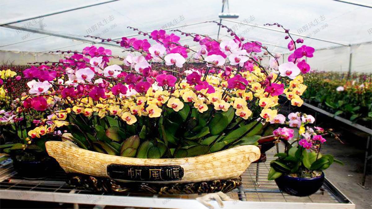 年宵兰花品种