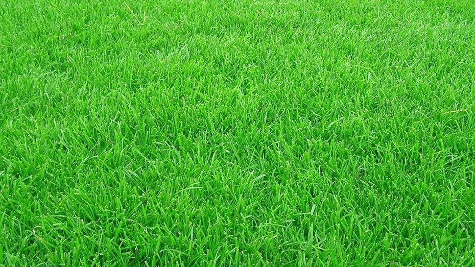 高羊茅草坪草种种植