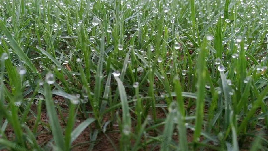 高羊茅草坪草种种植养护