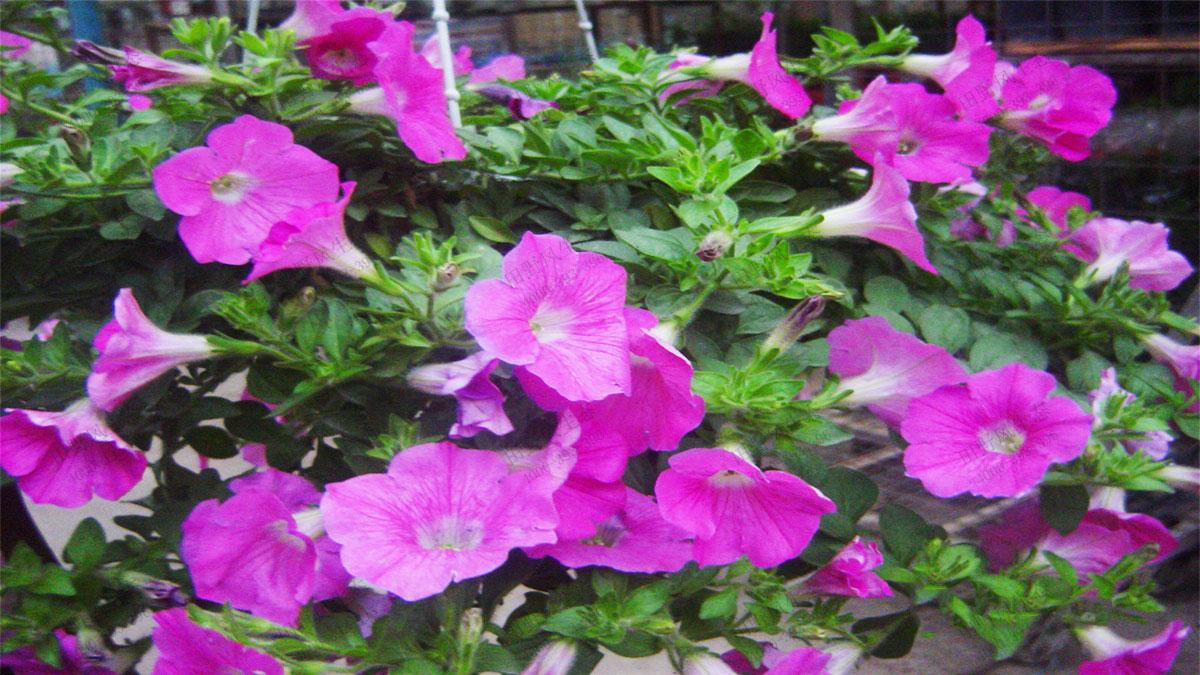 常用应节盆花