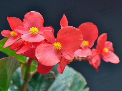 花如其名的四季海棠花种子种植方法