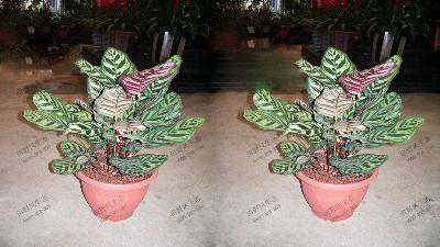 竹芋(红背孔雀)