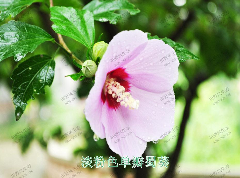 2淡粉色单瓣蜀葵