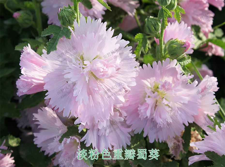 3淡粉色重瓣蜀葵