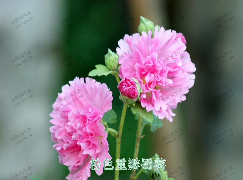 4粉色重瓣蜀葵