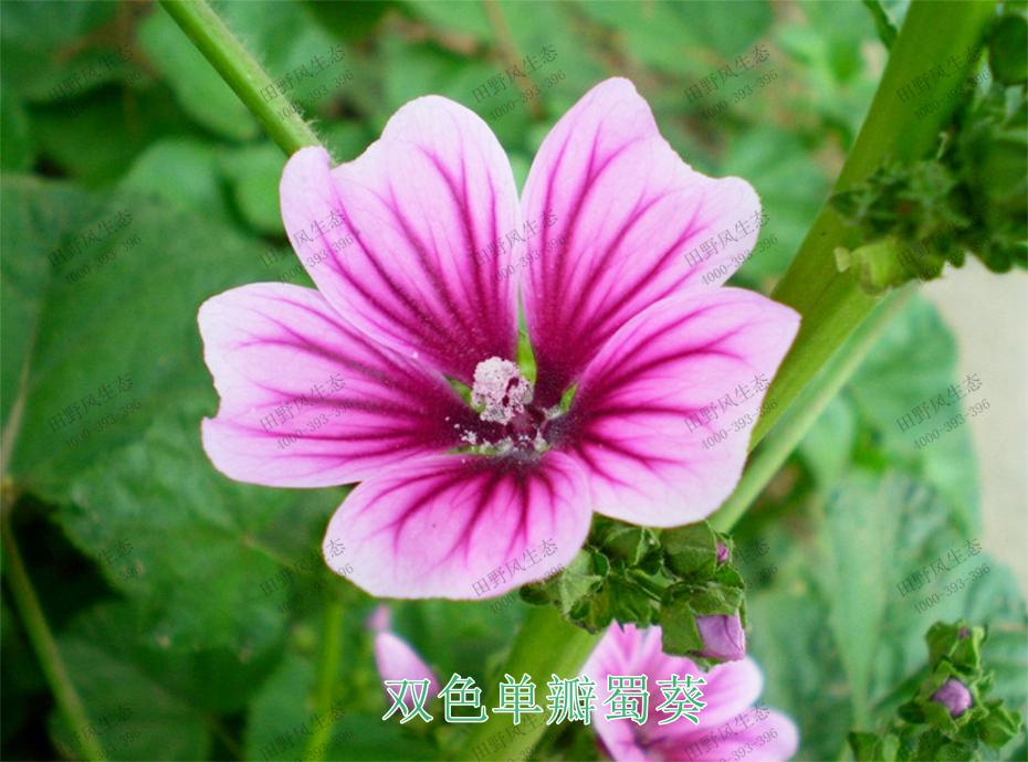 5双色单瓣蜀葵