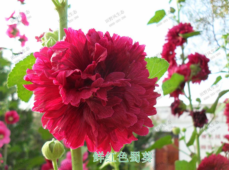 7鲜红色蜀葵