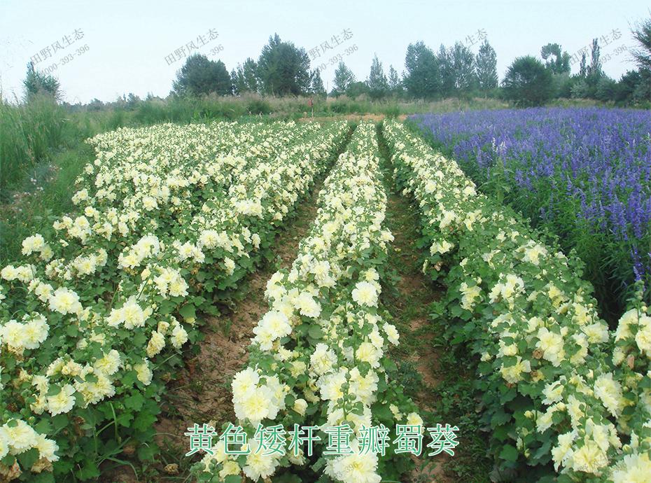 10黄色矮杆重瓣蜀葵