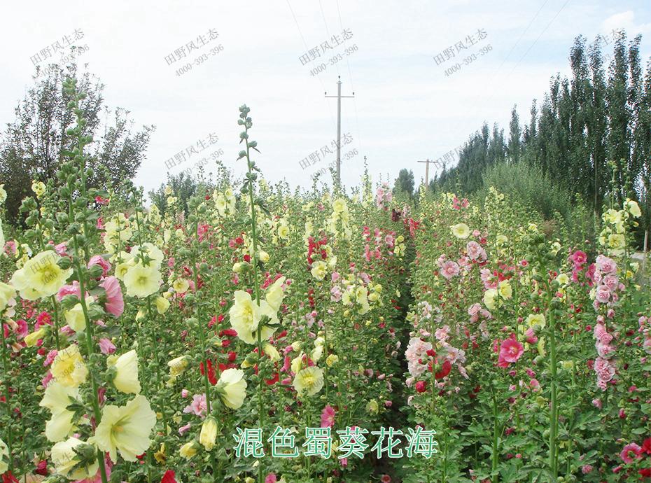 12混色蜀葵花海