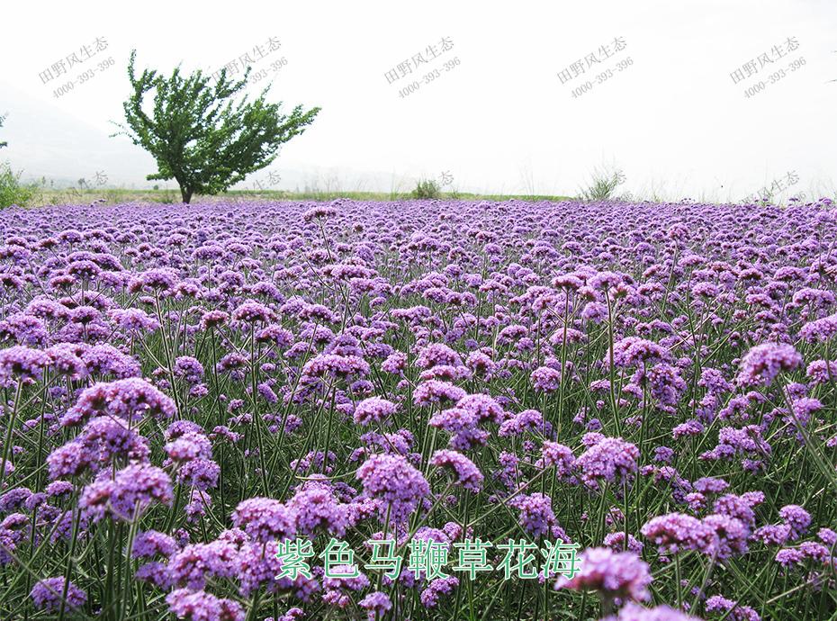6紫色马鞭草花海