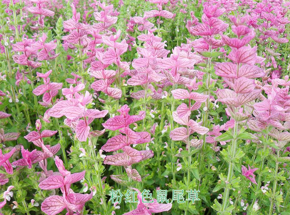 3粉红色鼠尾草