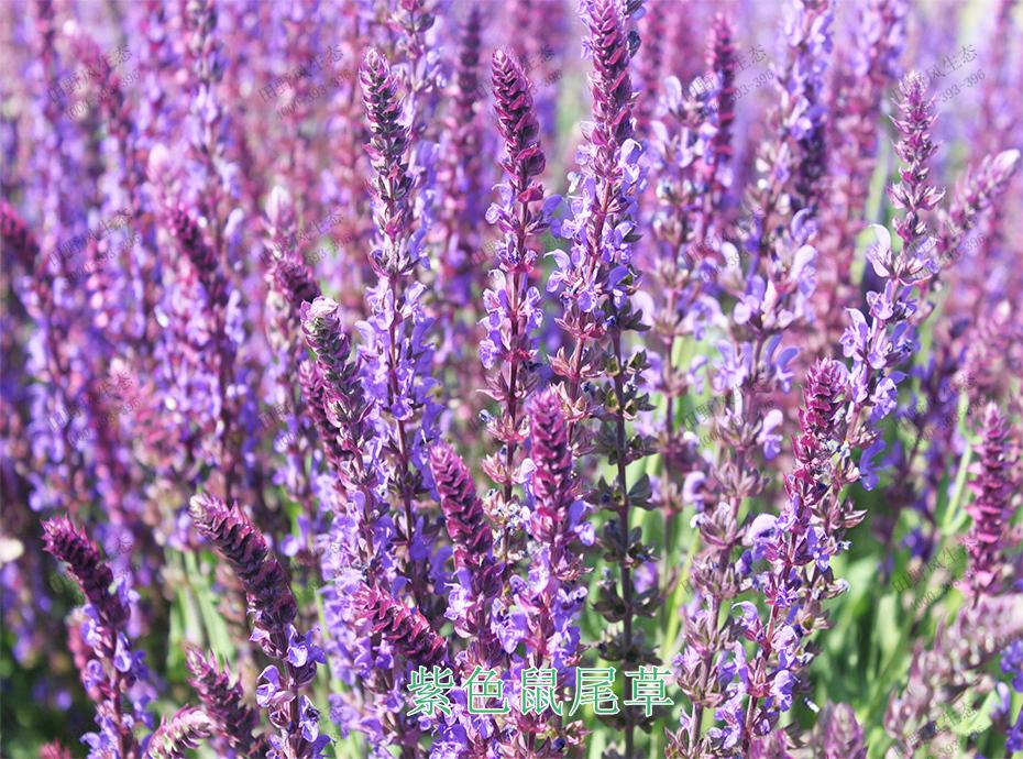 4紫色鼠尾草