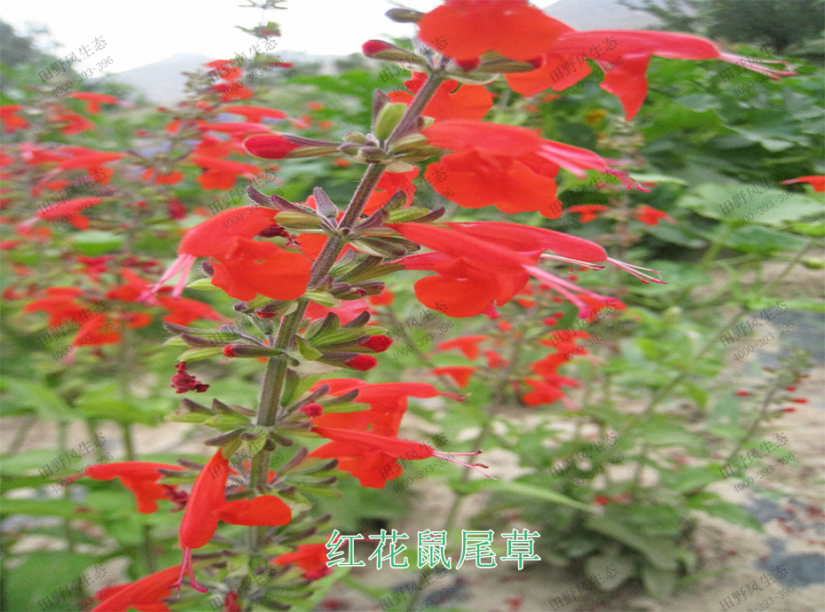5红花鼠尾草