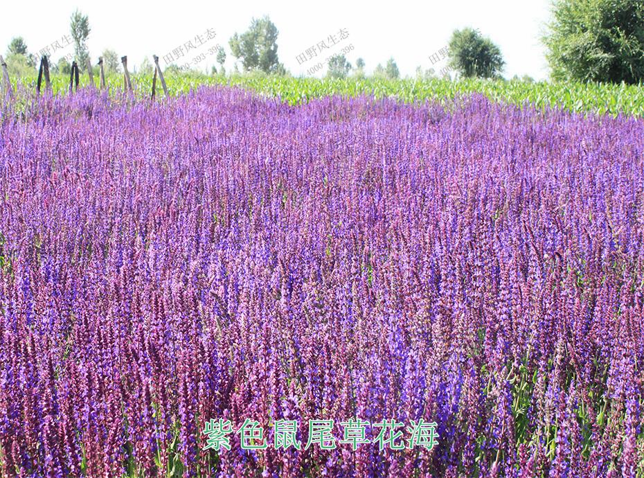 9紫色鼠尾草花海