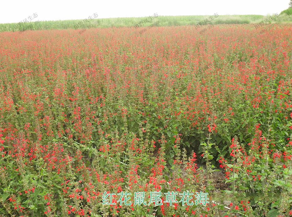 11红花鼠尾草花海