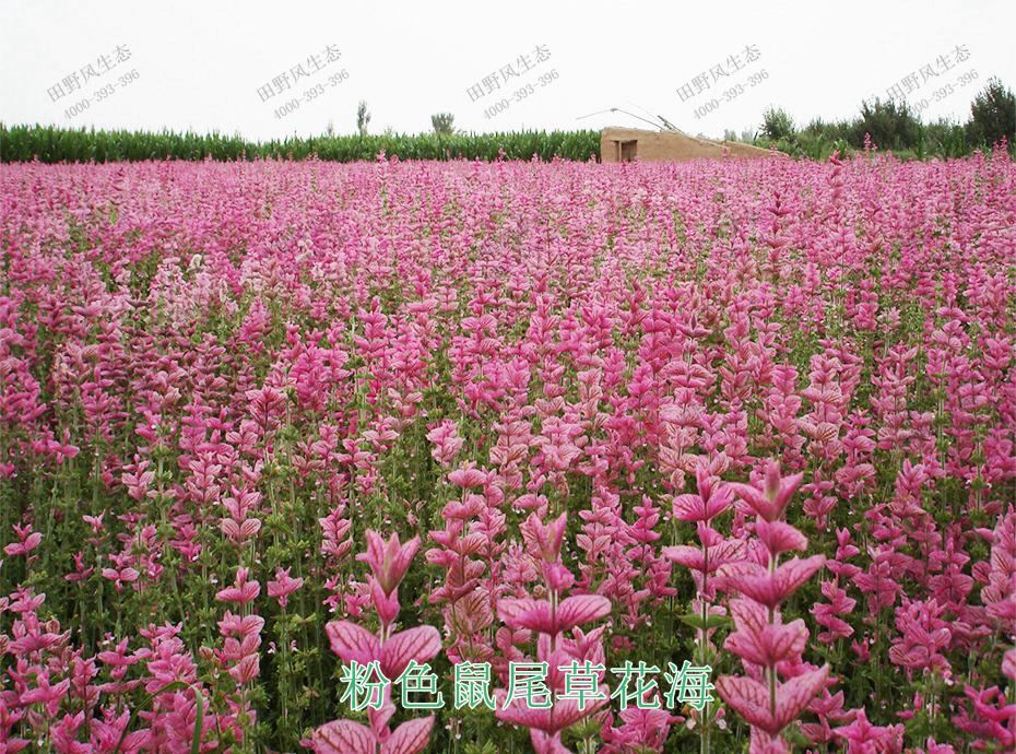 12粉色鼠尾草花海
